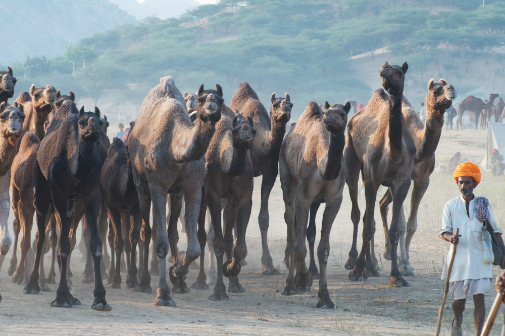 The annual Pushkar Camel Fair held every year in Rajasthan, India is the largest gathering of camels on the planet