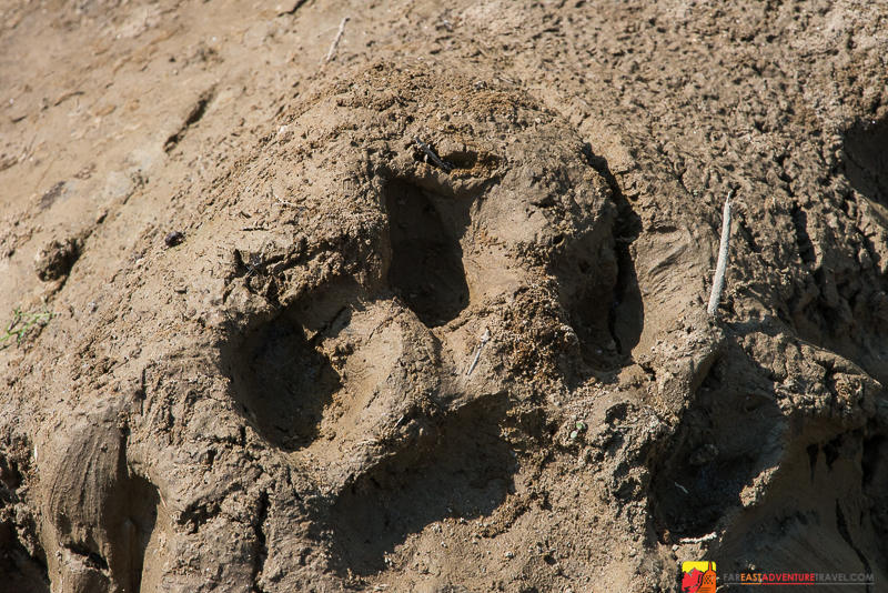 Pug mark from a Royal Bengal Tiger - Chitwan National Park - Nepal
