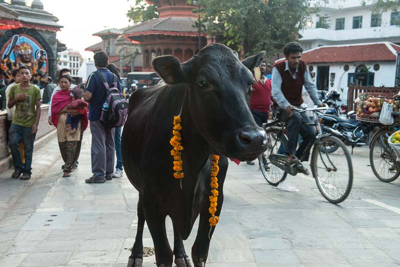 A cow wandering through Kathmandu's Durbar Square sacred and safe from the animal sacrifices of Dashain