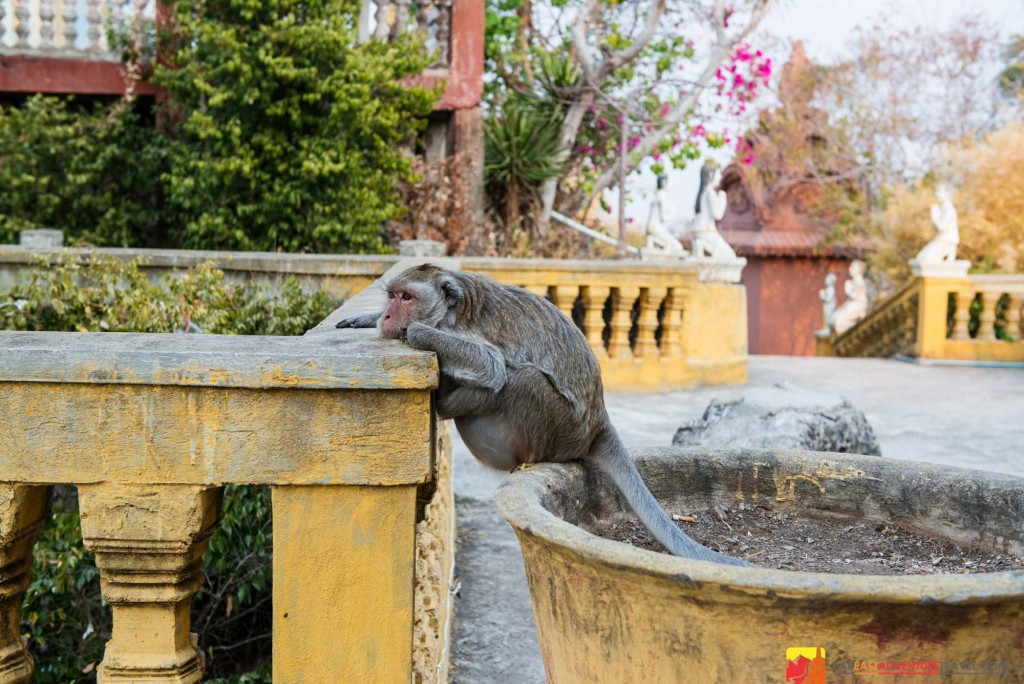 A macaque awaits an opportunity to grab a free meal from an unsuspecting visitor at Phnom Sampeau