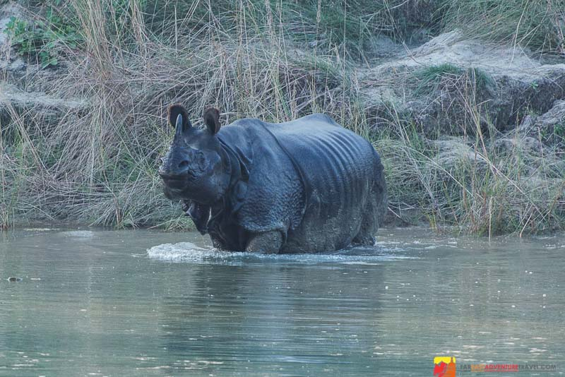 A close encounter with a greater one-horned rhino in Bardia National Park, Nepal