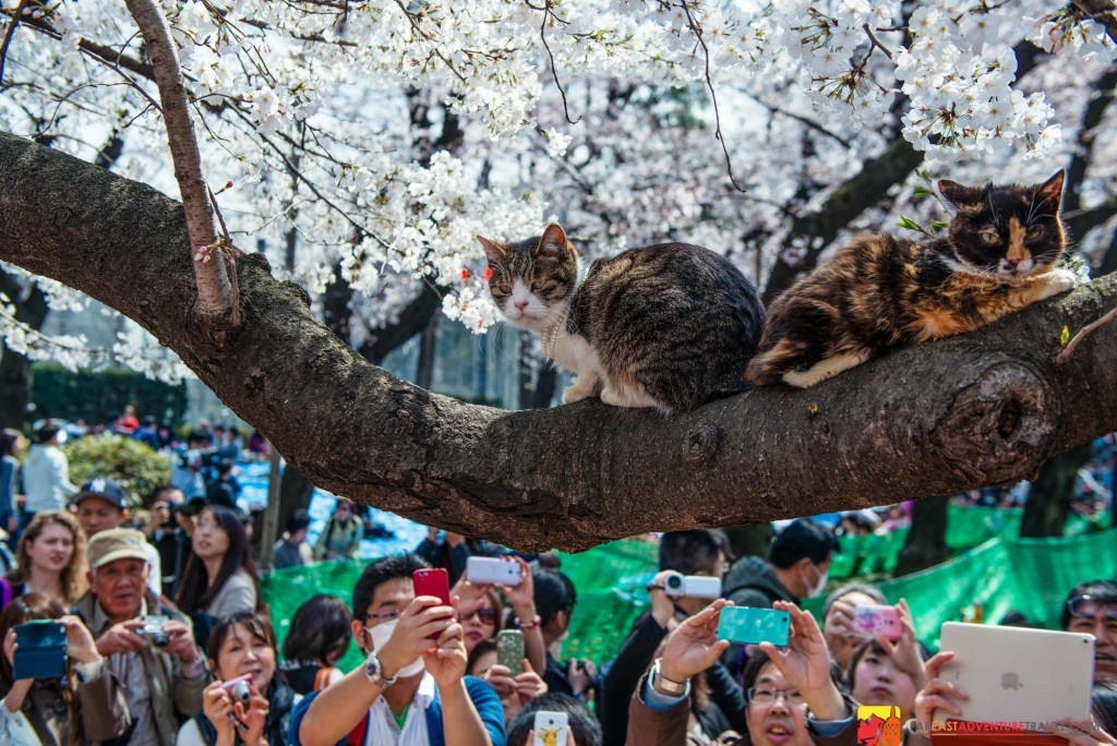 During Sakura(cherry blossom)season in Ueno Park, Tokyo a pair of cats draws a crowd of onlookers