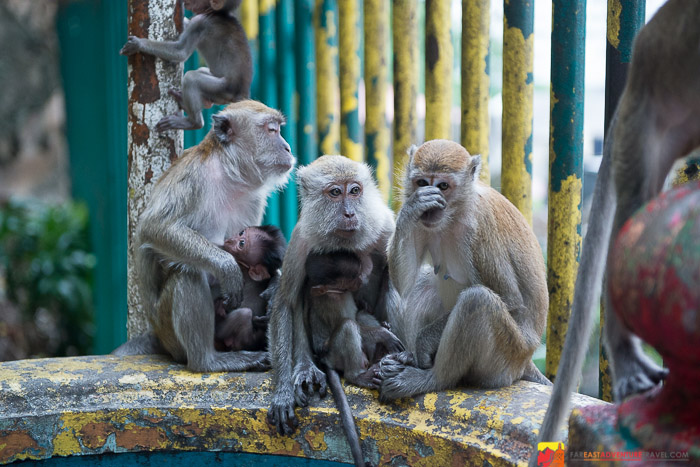 Monkeys - Batu Caves