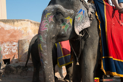 Elephants are often painted for celebrations