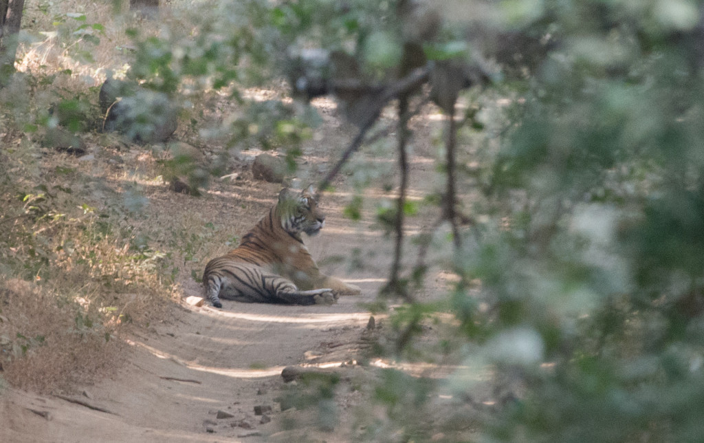 Mother Tigress Seen On A Safari In Ranthambore National Park - India 2012