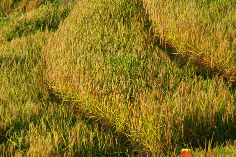 Jatiluwih Rice Fields-4