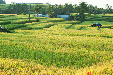 Harvest time - Jatiluwih Rice Fields Bali
