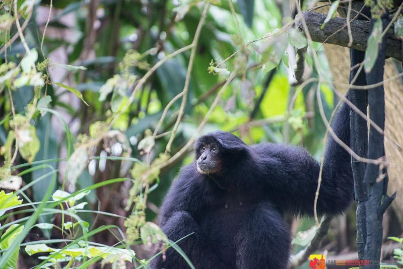 The rare Gibbon seen in The Taipei Zoo-Taipei, Taiwan