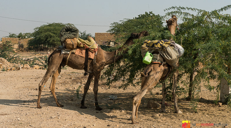 Our camels taking a break at a village stop in The Thar Desert