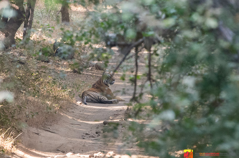 Female Royal Bengal Tiger watches over her cubs in The Ranthambore Tiger Reserve - Rajasthan, India