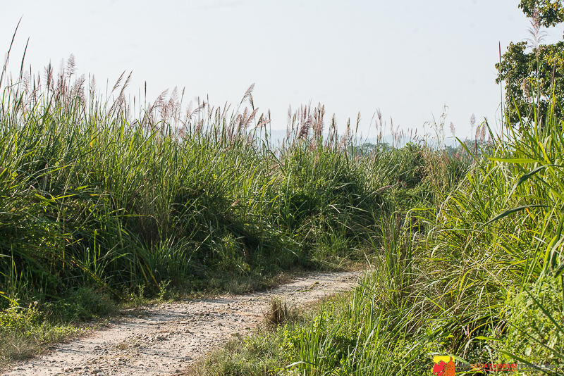 The tall grasses that make it difficult to spot wildlife-Chitwan National Park, Nepal