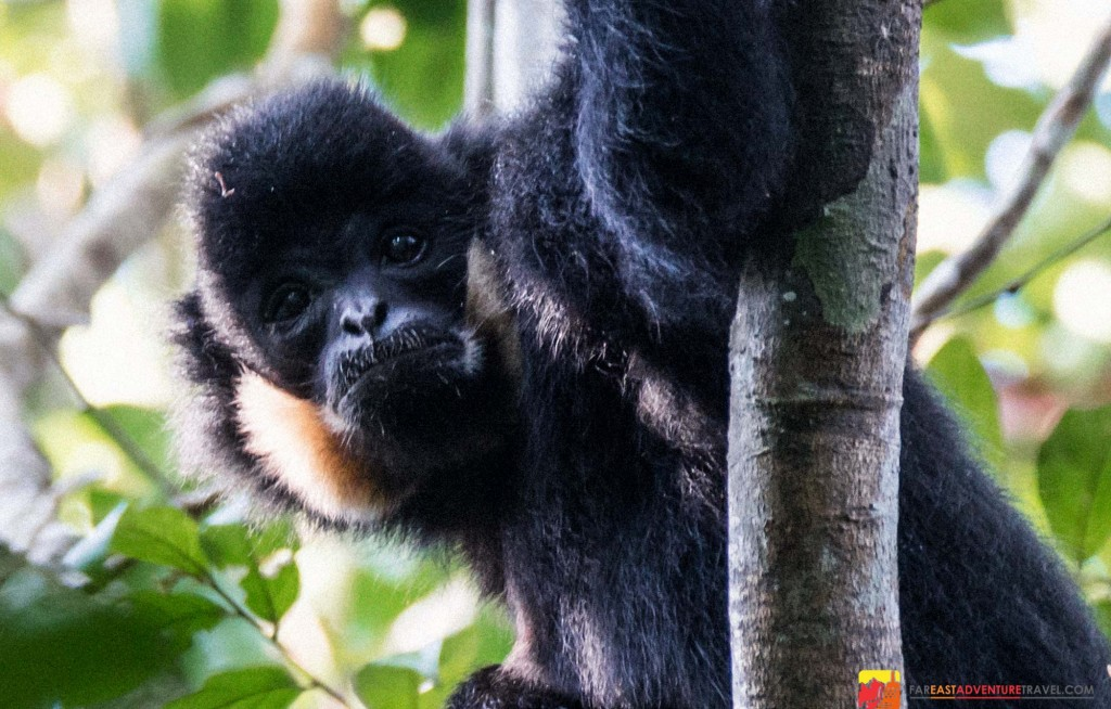 A male northern yellow-cheeked gibbon of the ape species found in the extreme northeast of Cambodia